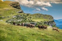 Коровы в горах - Пиренеи, Испания Стоковое Изображение