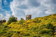 Коровы в горах - Пиренеи, Испания Стоковые Фотографии RF