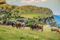 Коровы в горах - Пиренеи, Испания Стоковая Фотография RF