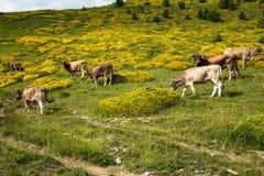 Коровы в горах - Пиренеи, Испания Стоковое фото RF