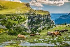 Коровы в горах - Пиренеи, Испания Стоковые Фото