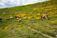Коровы в горах - Пиренеи, Испания Стоковое Изображение RF