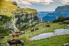 Коровы в горах - Пиренеи, Испания Стоковая Фотография