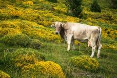 Коровы в горах - Пиренеи, Испания Стоковые Изображения