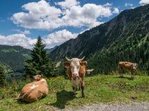 Коровы в горах в Тироле, Баварии Стоковое Изображение RF