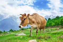 Коровы в горах Стоковая Фотография RF