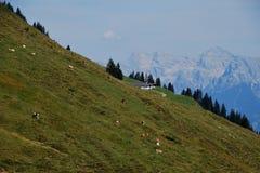 Коровы в горах Стоковые Фото
