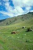 Коровы в горах Altai пася Стоковое фото RF