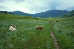 Коровы в горах Altai пася Стоковые Фотографии RF