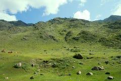 Коровы в горах Altai пася Стоковое Фото