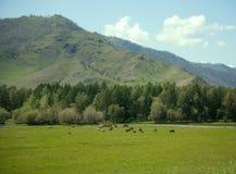 Коровы в горах Altai пася Стоковая Фотография