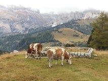 Коровы в горах Dolomiti Стоковая Фотография RF