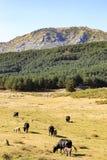 Коровы в горах Gredos в Испании Стоковые Изображения