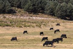Коровы в горах Gredos в Испании Стоковое Изображение