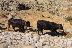 Коровы в горах Gredos в Испании Стоковая Фотография RF