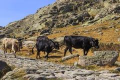 Коровы в горах Gredos в Испании Стоковые Фото