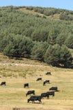 Коровы в горах Gredos в Испании Стоковая Фотография