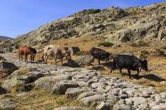 Коровы в горах Gredos в Испании Стоковое Изображение RF