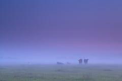 Коровы в густом тумане на выгоне утра Стоковое фото RF
