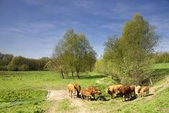 Коровы в долине Geleenbeek Стоковые Изображения RF