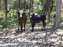 Коровы в лесе стоковые фотографии rf