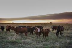 Коровы в заходе солнца Стоковая Фотография