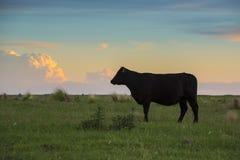 Коровы в заходе солнца Пампаса Стоковая Фотография