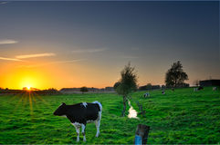 Коровы в заходе солнца Стоковое Изображение RF