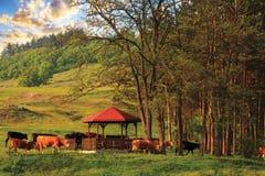 Коровы в заходе солнца Стоковая Фотография RF