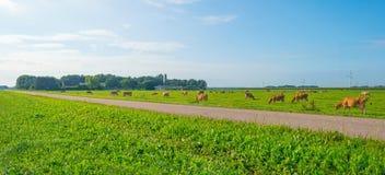 Коровы в зеленом луге в солнечном свете Стоковые Изображения RF
