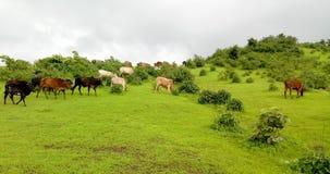 Коровы в зеленом поле Стоковые Фото