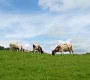 Коровы в зеленом поле Стоковое Изображение RF