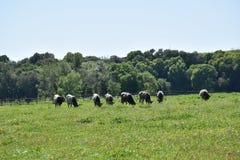Коровы в зеленых выгона животных outdoors Стоковые Фото