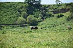 Коровы в зеленых выгона животных outdoors Стоковое Изображение