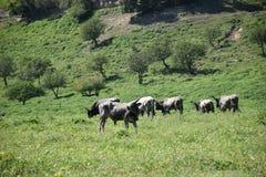 Коровы в зеленых выгона животных outdoors Стоковое Фото