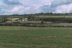Коровы в зеленом поле на ирландской сельской местности Стоковые Изображения