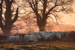 Коровы в зиме стоковое фото rf