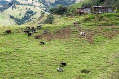Коровы в Колумбии Стоковая Фотография