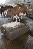 Коровы в конюшне избегают метельщика робота который очищает позем прочь Стоковая Фотография RF