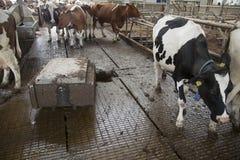 Коровы в конюшне избегают метельщика робота который очищает позем прочь Стоковые Изображения