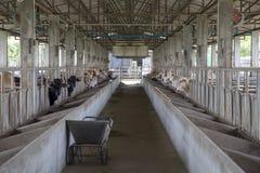 Коровы в конюшне на ферме Стоковые Фотографии RF