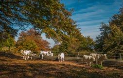 Коровы в лесе бука осени Стоковое Фото