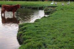 Коровы в луге купая в воде стоковые изображения rf
