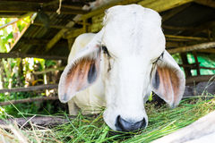 Коровы в местной ферме Стоковое Фото