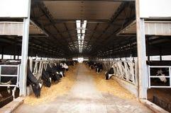 Коровы в молочной ферме Стоковое Изображение