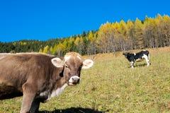 Коровы в осени Стоковые Фотографии RF