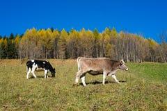 Коровы в осени Стоковая Фотография