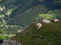 Коровы в доломитах Стоковые Фотографии RF