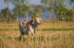 Коровы в пасти Стоковые Фото