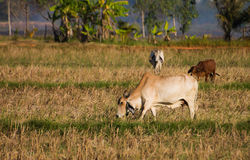Коровы в пасти Стоковая Фотография RF